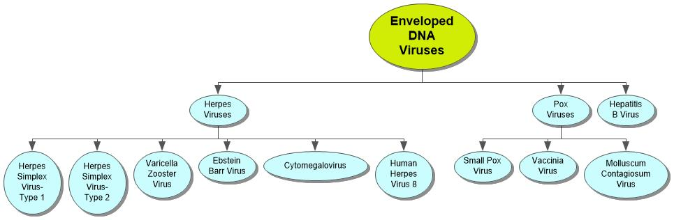 Enveloped DNA Viruses Concept Map