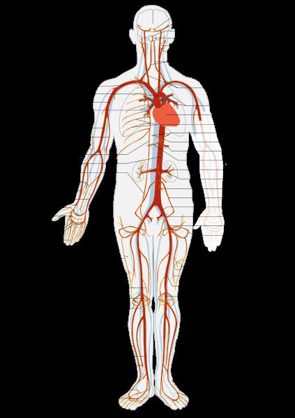 Human Arterial System – howMed