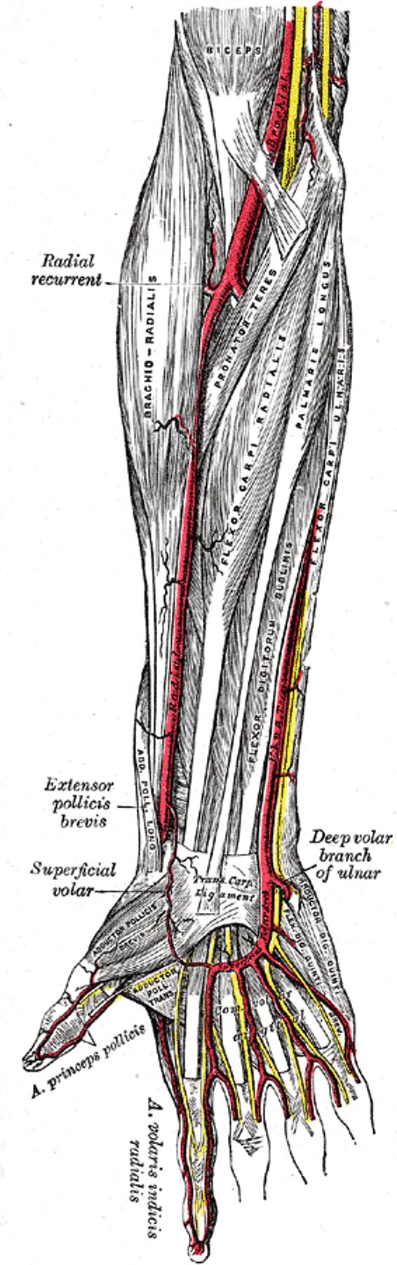 Ulnar Artery – howMed