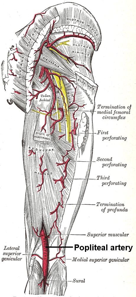 Popliteal Artery – howMed