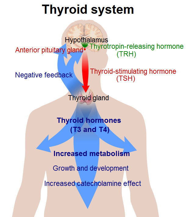 structure activity relationship of anti thyroid drugs and breastfeeding