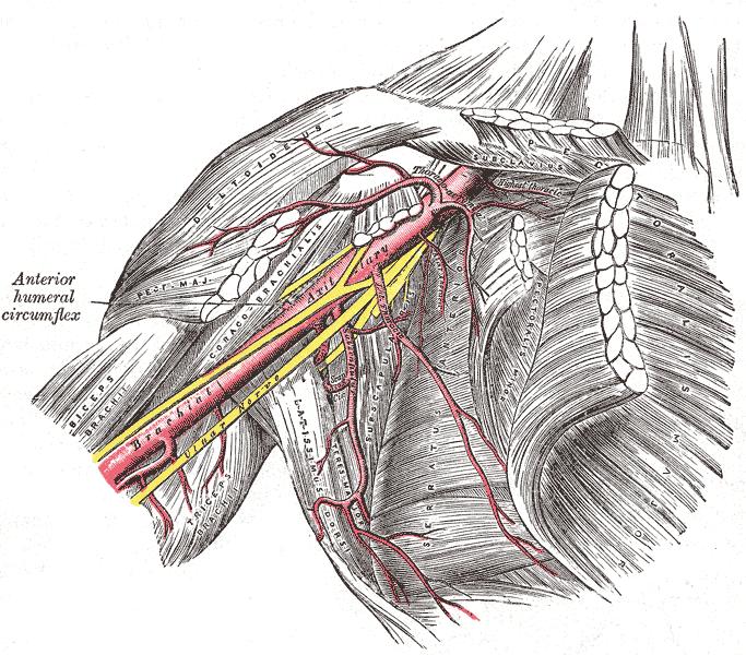 Internal Thoracic Artery – howMed