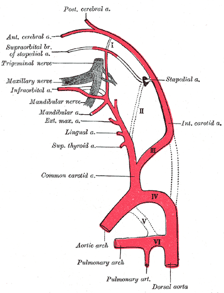 External Carotid Artery – howMed