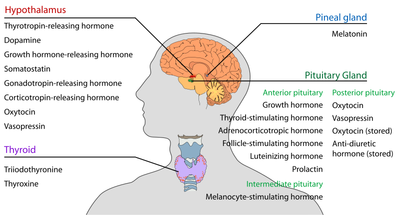 Hormones of Pituitary Gland – howMed
