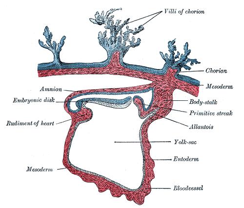 endoderm