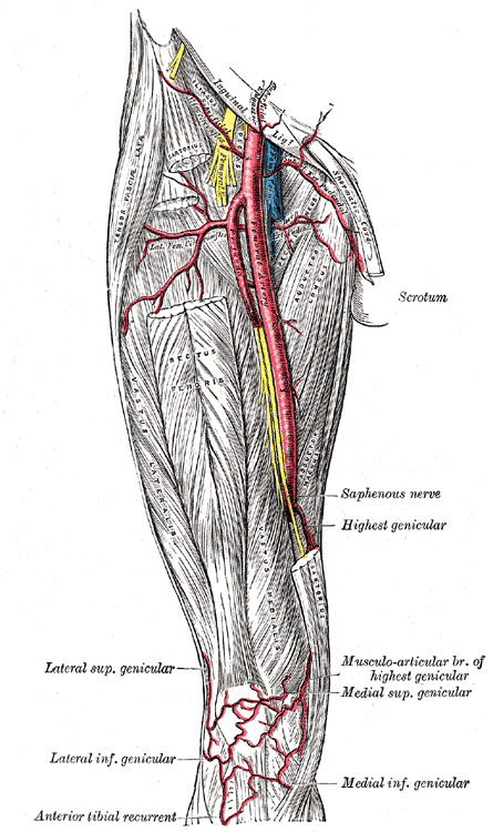Femoral Artery Howmed