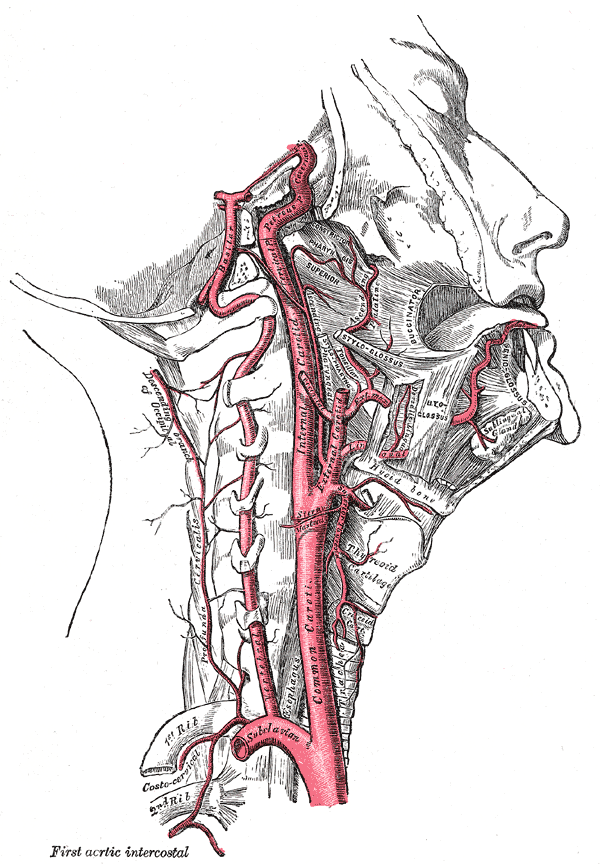 internal carotid and vertebral artery