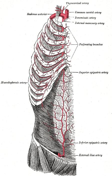 Common Iliac Arteries Howmed