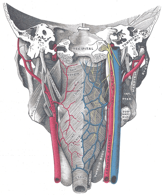 External Carotid Artery Howmed