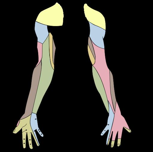 Median Nerve – howMed