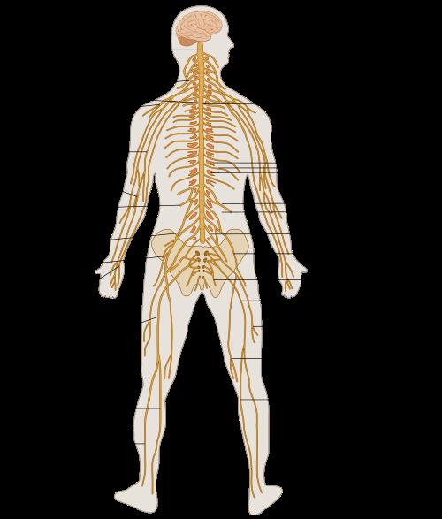 Human Nervous System – howMed