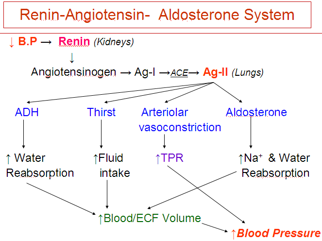 Concept Map Renin Angiotensin Aldosterone Mechanism.Hormones Of Non Endocrine Glands Howmed