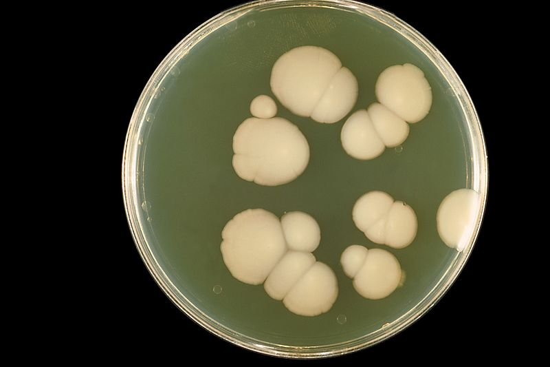 Candida albicans grown at 20 C