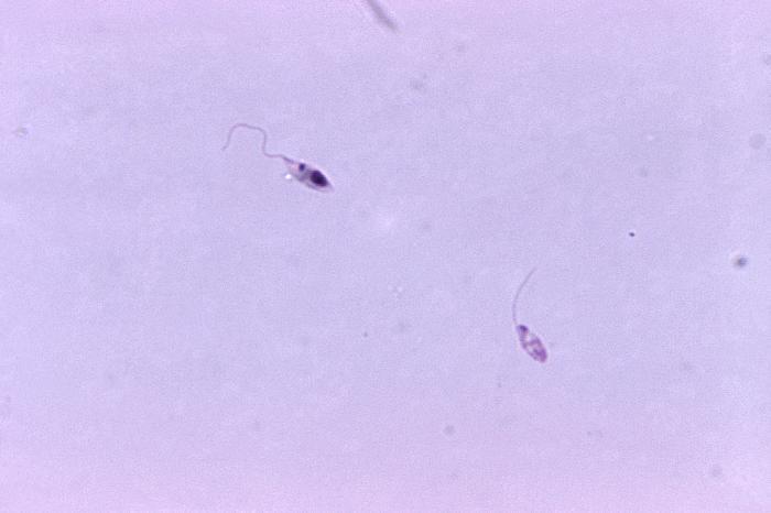 binary fission in leishmania - photo #41