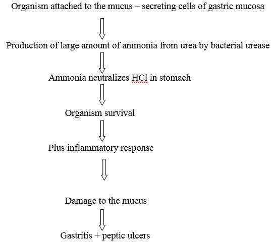 Pathogenesis of H. pylori