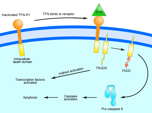TNF signalling pathway
