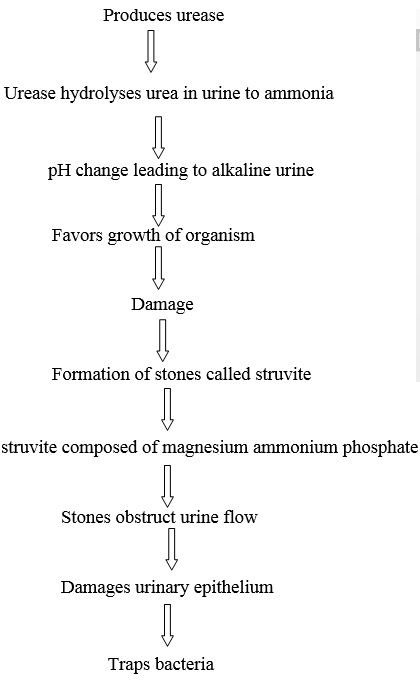 pathogenesis of proteus